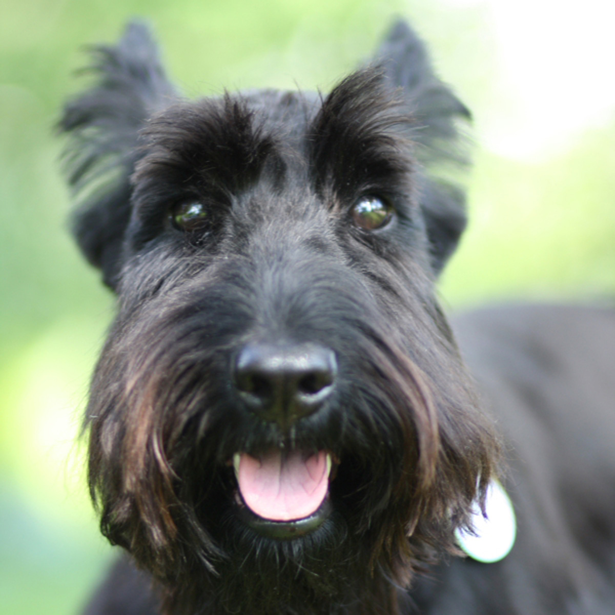 natural pet care modern scottie dog