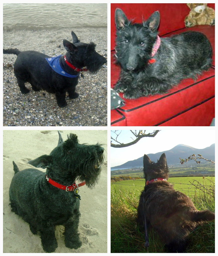 Scottie Dog Adoption Uk