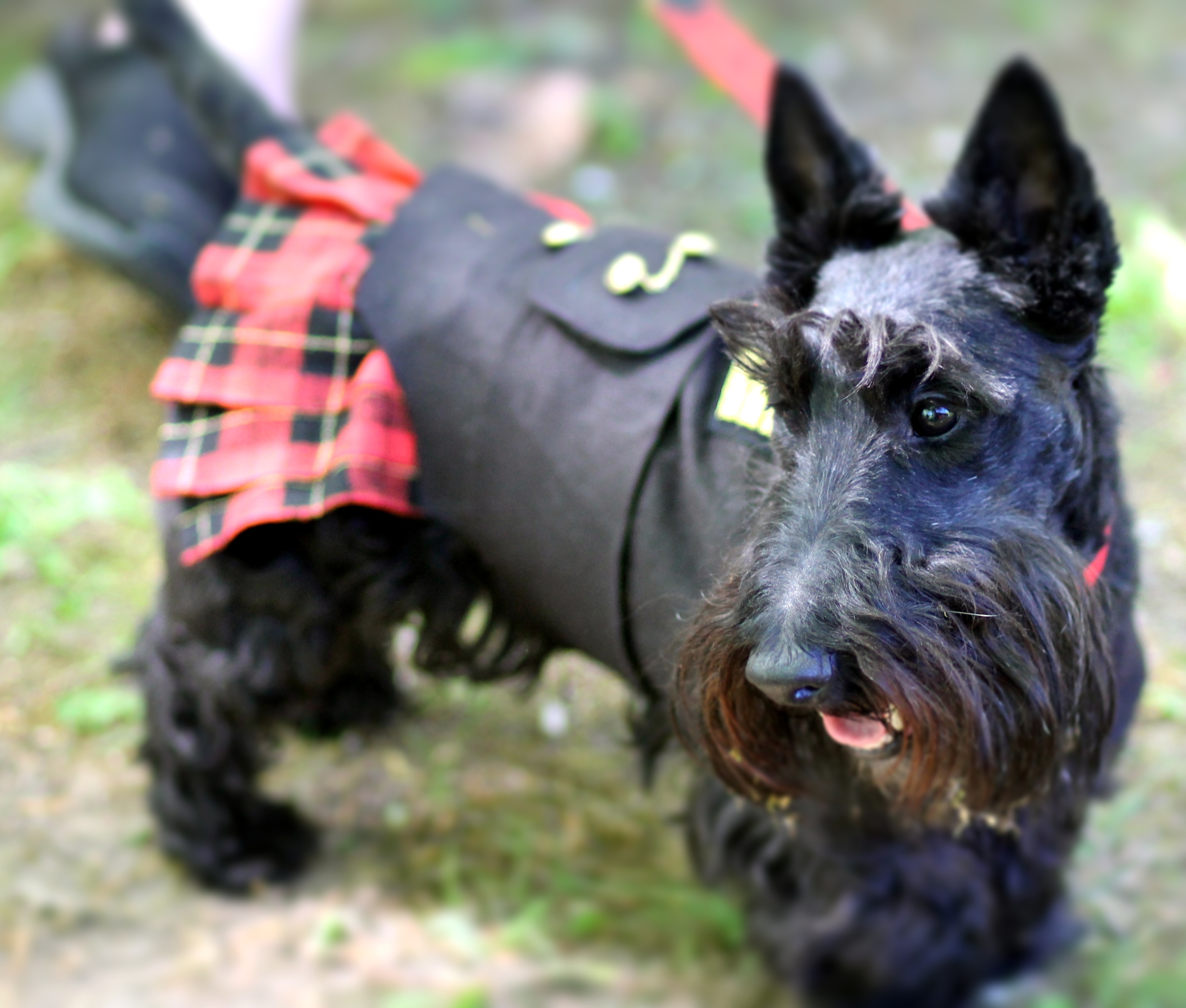 Scottish Terriers On Pinterest Terriers Scottie Dogs